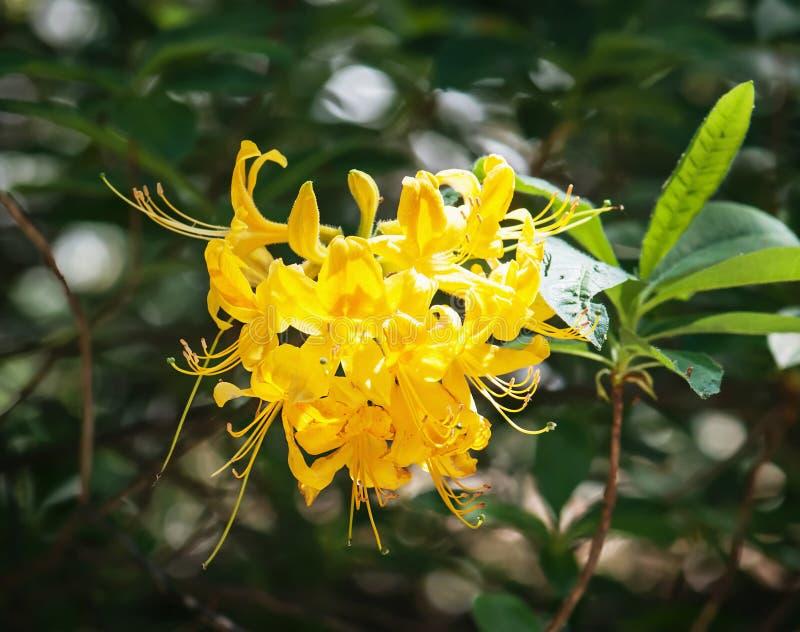 Closeup of yellow lily flower (lilium lancifolium) stock image