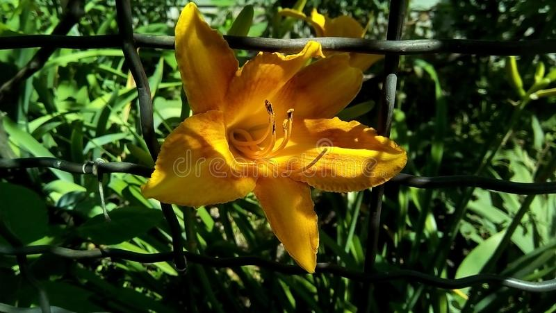 Closeup of a yellow lily flower in a wire fence cell. royalty free stock photo