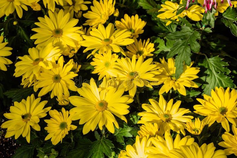 Yellow mums flowers stock photo image of background 113992608 download yellow mums flowers stock photo image of background 113992608 mightylinksfo