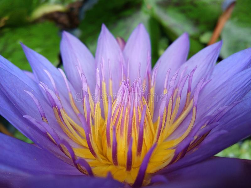 Yellow pollen of blossom purple lotus flower or water lily stock image