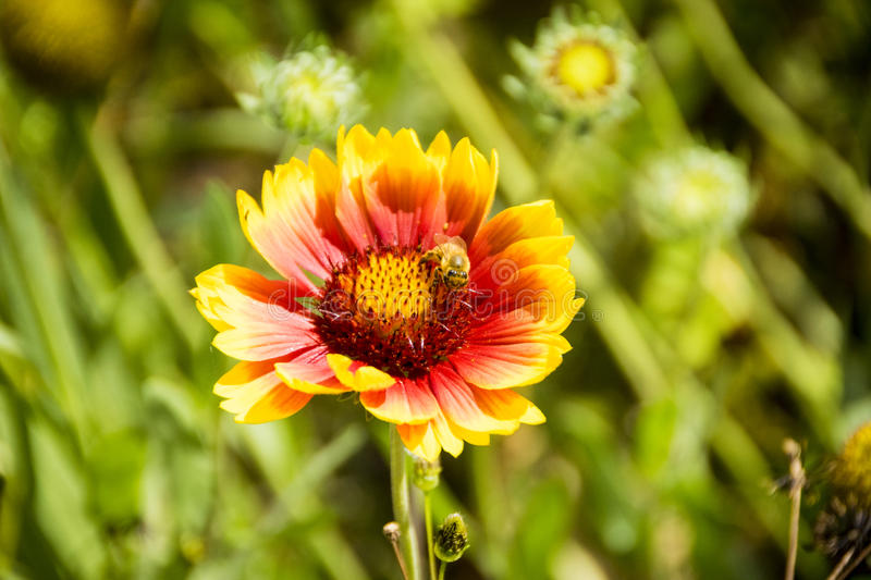 Closeup of yellow and red flower with bee stock image