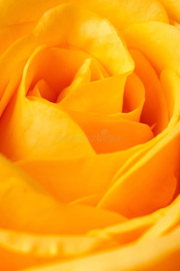 Closeup Of A Yellow Rose Stock Image