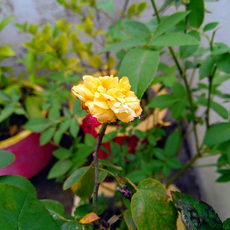 Closeup of yellow rose petals and green leaves plant growing in the garden, nature photography stock illustration