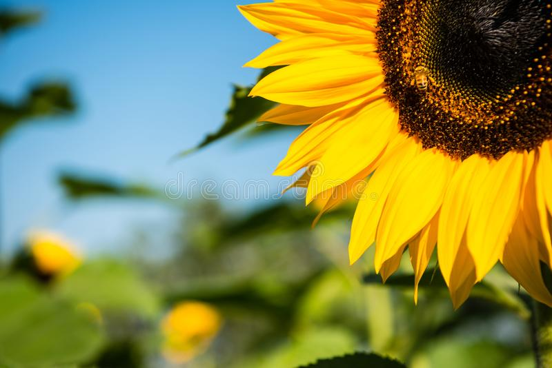 Closeup of yellow sunflower with bee in garden stock images