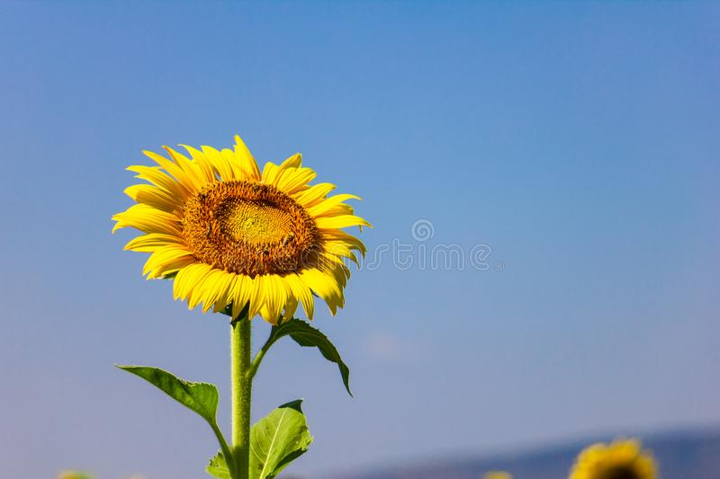 Closeup yellow sunflower with bee in the garden on sunshine day stock photo