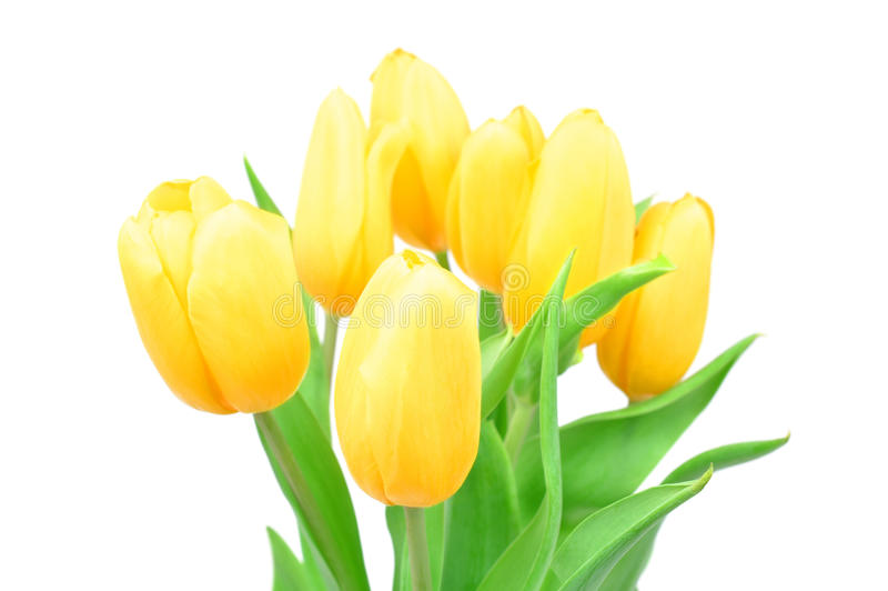 Closeup Yellow Tulips Spring Flowers Isolated on white background, Spring Flowers royalty free stock photo
