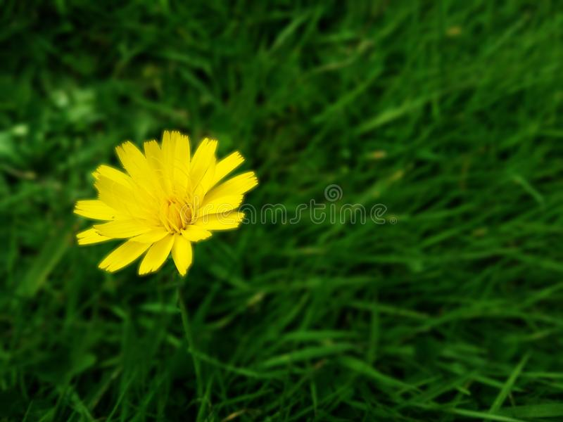 Closeup yellow weed flower on blurred green grass royalty free stock photography