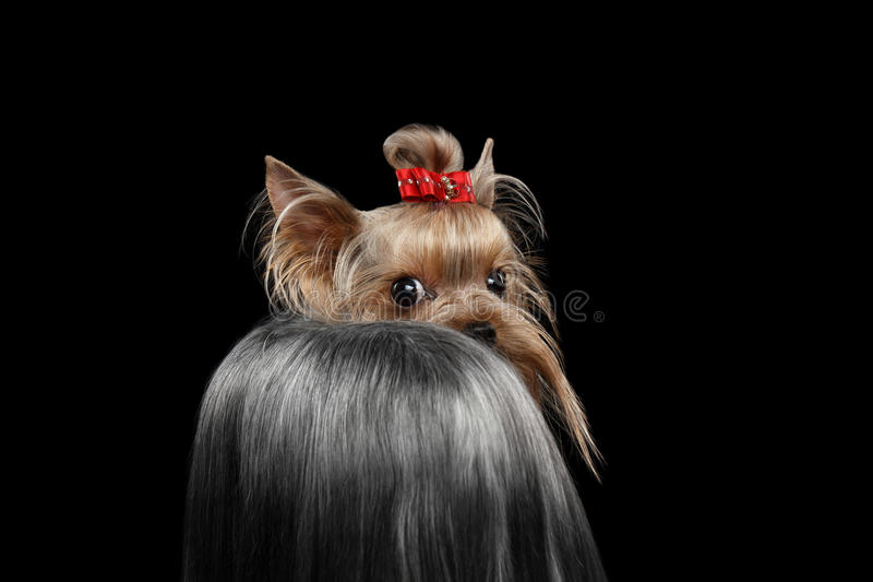 Closeup Yorkshire Terrier Dog, long groomed Hair Shy Looking back stock images
