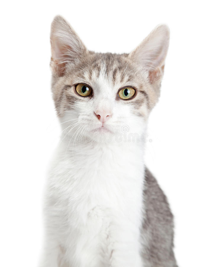 Closeup Young Attentive Gey Cat. Portrait of pretty young grey and white cat looking into camera royalty free stock photos