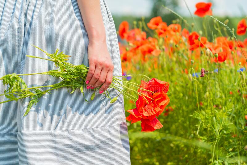 Closeup of young beautiful woman holds a poppy bouquet in her hands in a poppy field on sunny summer day. stock photography