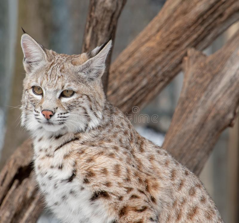 A closeup of a bobcat standing in front of fallen tree branches. A closeup of a young bobcat standing in front of fallen tree branches stock images
