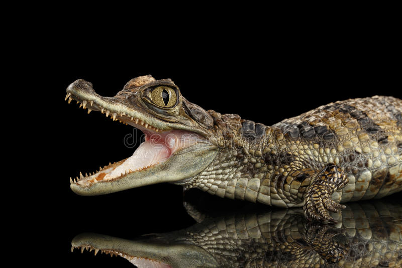 Closeup Young Cayman Crocodile, Reptile with opened mouth Isolated Black royalty free stock photos