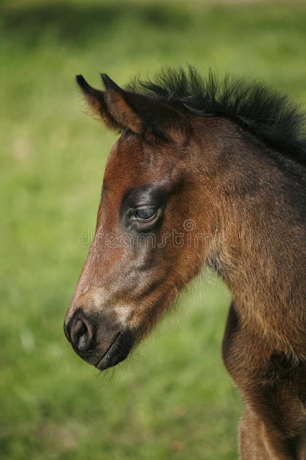 Closeup of a young domestic horse on natural background outdoors rural scene. Head shot of a newborn thoroughbred filly at beautiful animal ranch.  Portrait royalty free stock photo