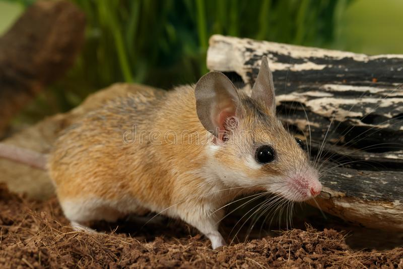 Closeup mouse hunts on insect. Closeup young female spiny mouse Acomys cahirinus stands near snag on background of grass and hunts on insect stock images