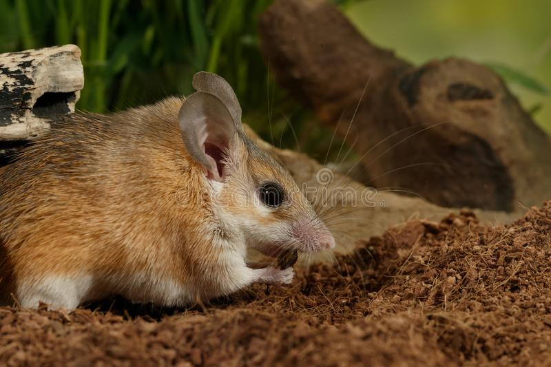Closeup young female spiny mouse eats insect in terrarium. stock photography