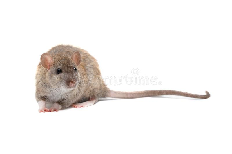 Closeup young fluffy rat isolated on white background royalty free stock photos