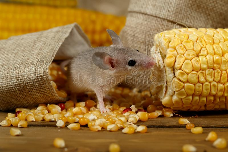 Closeup young gray mouse lurk near the corn and burlap bags on the floor of the warehouse. stock image