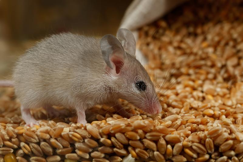 Closeup young gray mouse lurked on a pile of wheat in the barn. stock image