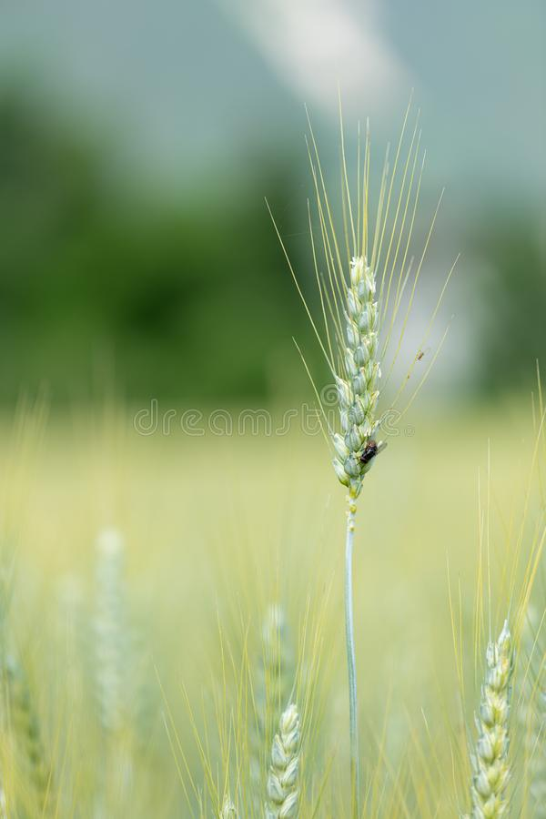 Closeup of young green cereal grain before harvest. Closeup of young green cereal grain wheat, Triticum before harvest stock images
