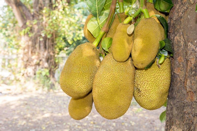 Closeup young jackfruits on tree. Close up young jackfruits on tree stock photo