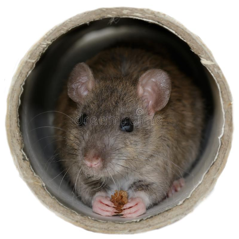 Closeup the young rat eats rusk inside the pipe. royalty free stock photography