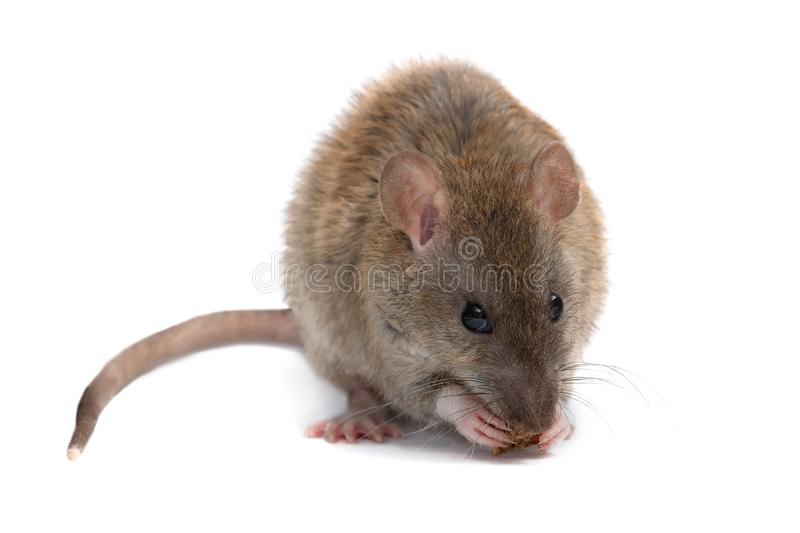 Closeup young rat eats rusk and looking a camera. isolated on white. stock photography
