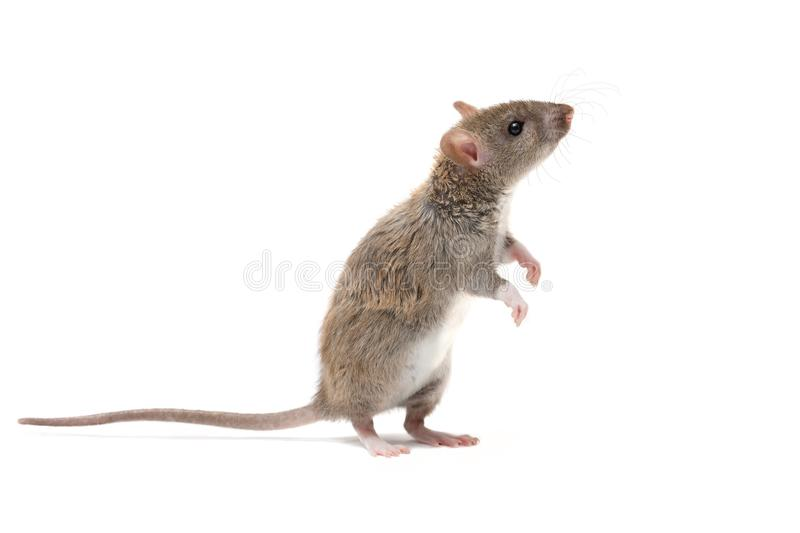 Closeup young rat stands on its hind legs and looking up. isolated on white background stock images
