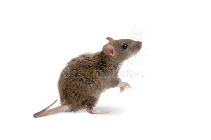 Closeup young rat stands on its hind legs and looking up. on white royalty free stock photo