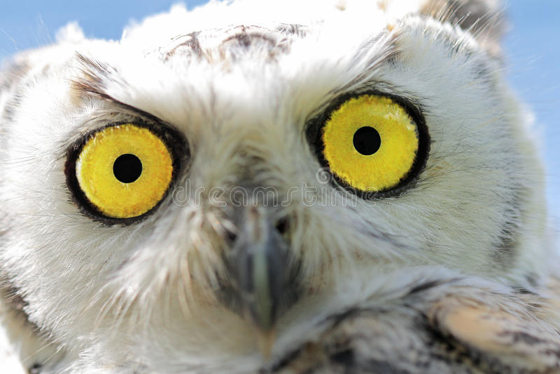 Closeup of a young snow-owl stock photos