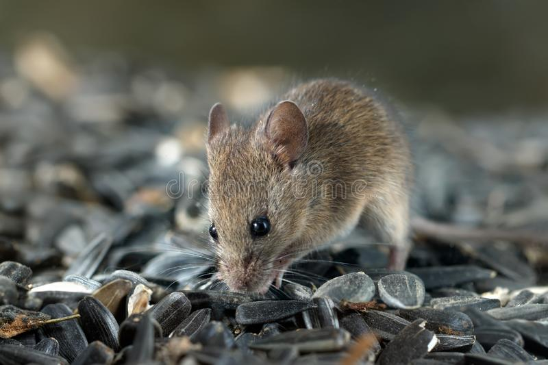 Closeup young vole mouse sniffs sunflower seeds in warehouse. stock images