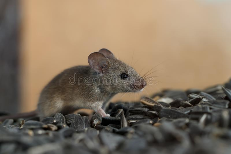 Closeup young wild mouse slinks on pile of sunflower seeds in warehouse. royalty free stock photo