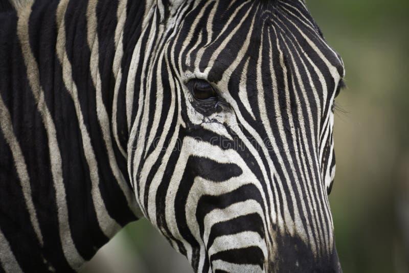Download Closeup Zebra Stock Image - Image: 22785071