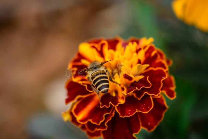 Closeup Zinnia flower and bee stock image