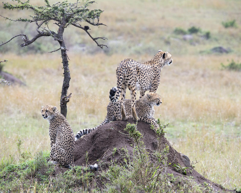 Closeupbackview av en vuxen människa och geparden för två barn överst av en smutskulle royaltyfria foton