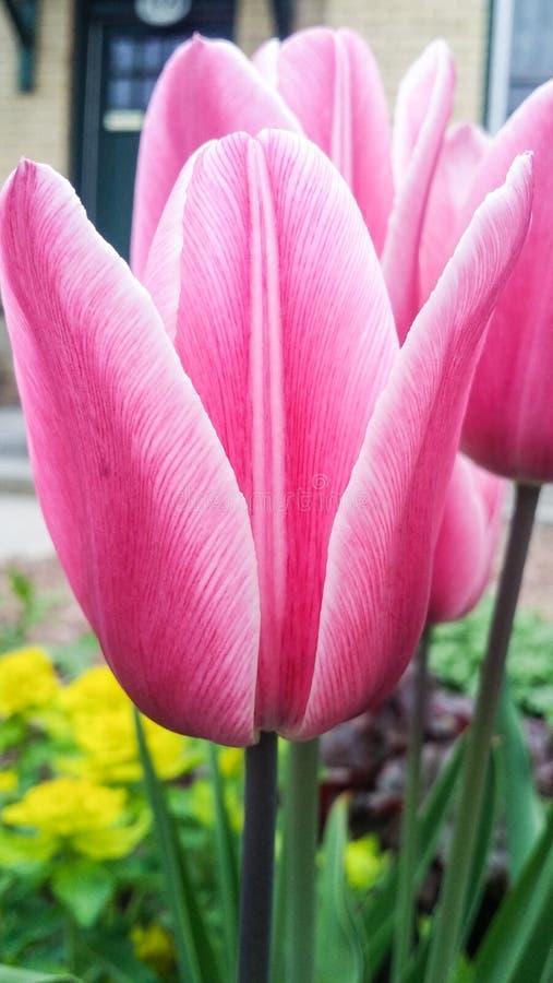 Closeupbild av den ljusa rosa tulpanblomman arkivfoto