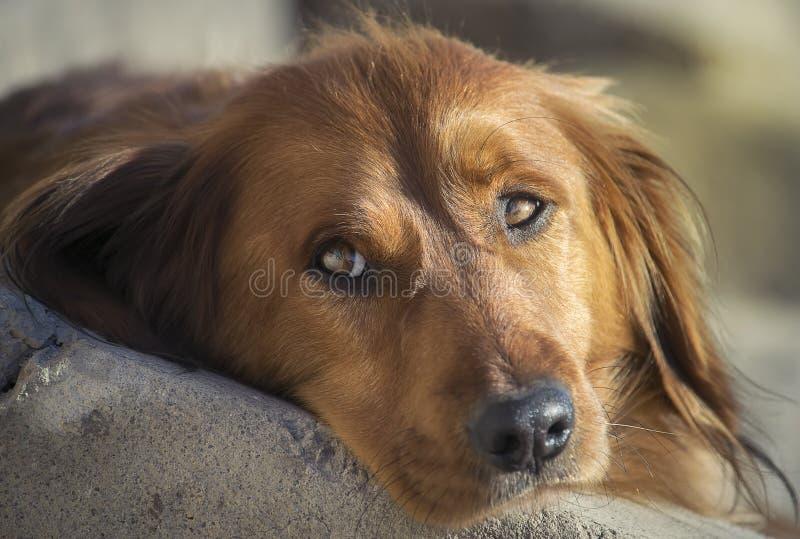 Closeupbild av en gullig taxhund royaltyfria foton