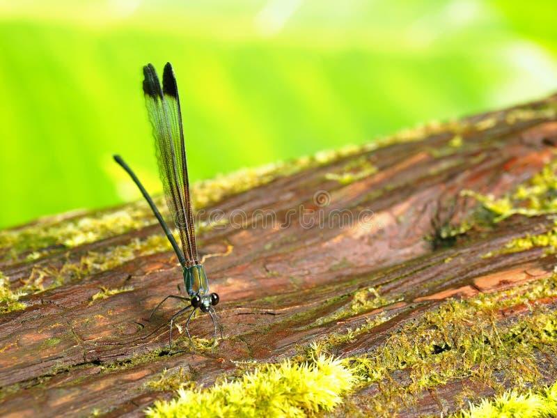 Closeupbild av en slända royaltyfria foton