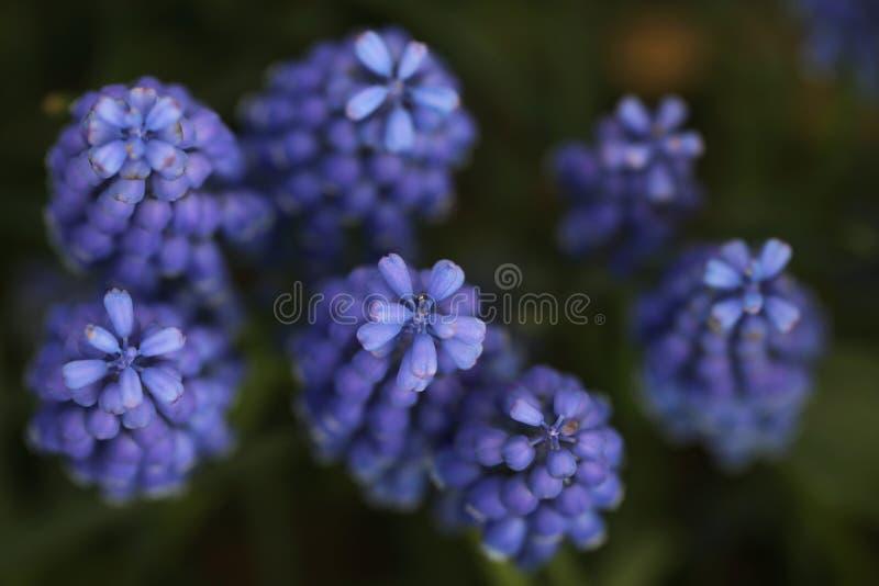 Closeupbild av lavendelblommor royaltyfri foto