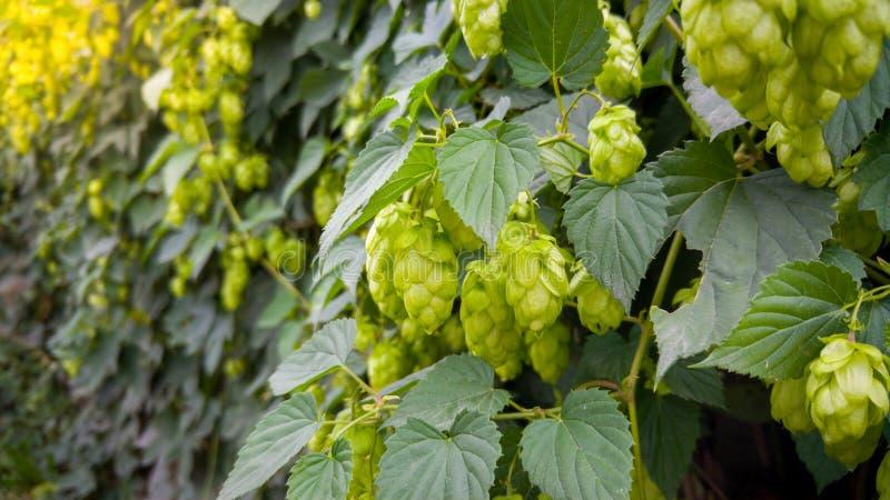 Closeupbild av mogen grön flygtur som växer på staketet på den ljusa soliga dagen Flygtur används i öl som gör bryggeriet arkivfoto