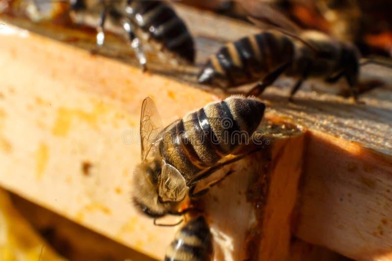 Closeupbistående på honungskakan i bikupa Biodlingbegrepp fotografering för bildbyråer