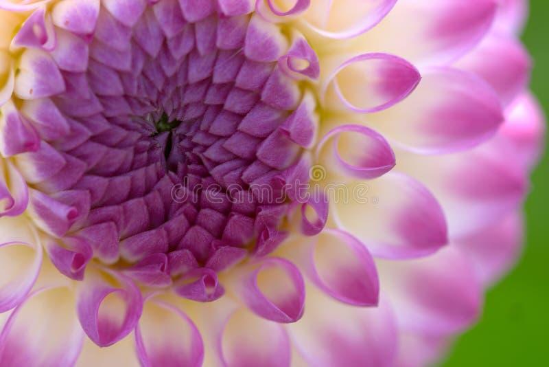 closeupdahliablomma arkivfoto