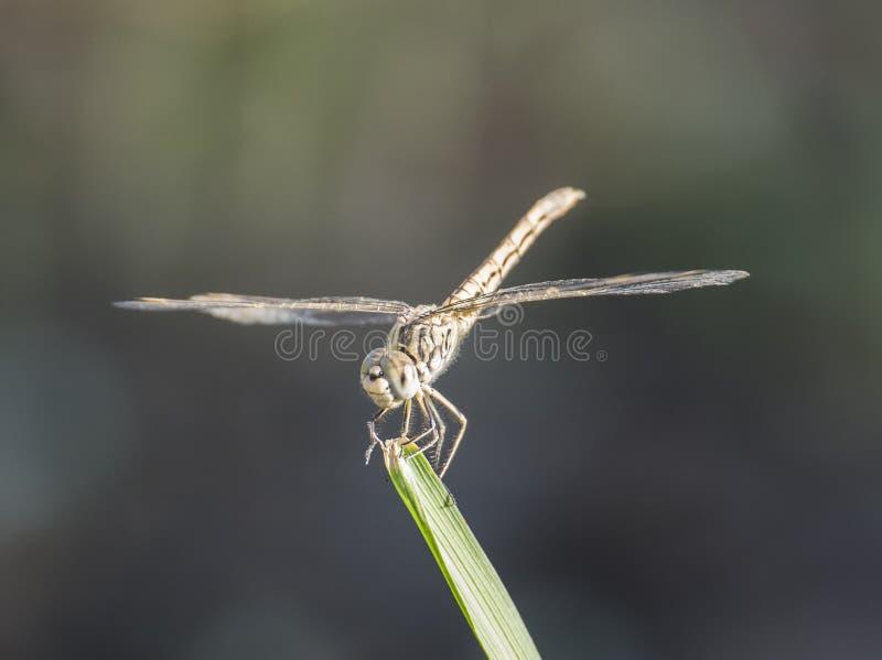 Closeupdetalj av den irrande glidflygplansländan på grässtrået arkivbild