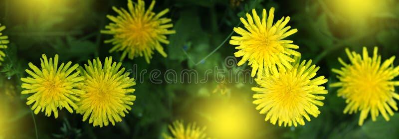 Closeupen av den gula v?ren blommar p? jordningen arkivbild