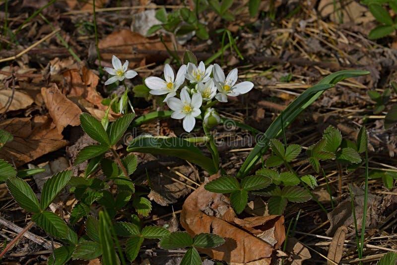 Closeupen av den ljusa blommaornithogalumen som är bekant som Stjärna-av fotografering för bildbyråer