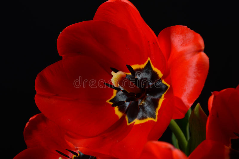 Closeupen av den röda tulpan öppnade i en bukett på svart bakgrund Sp arkivfoto