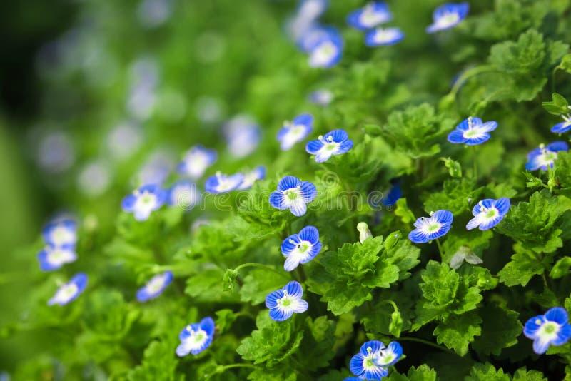 Fjädrar den små blomman för blått in royaltyfria foton