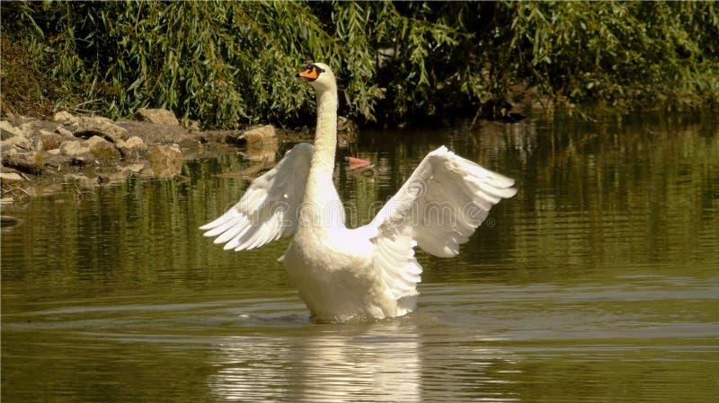 Closeupen av den vita svanen på det gröna vattnet av en sjö, den stora vatten- fågeln med vingar fördelade ut, det lösa djuret royaltyfri foto
