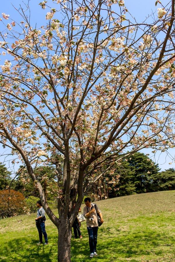 Closeupen av det enkla vita körsbärsröda sakura blommaträdet i den hitachi sjösidan parkerar royaltyfri bild