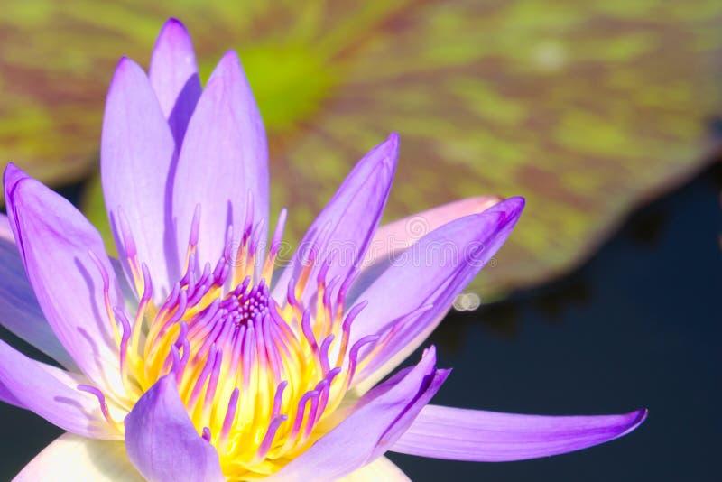Closeupen av en enkel härlig purpurfärgad lotusblommablomma, med den gula mitten, i ett älskvärt litet damm i ett thailändskt par fotografering för bildbyråer