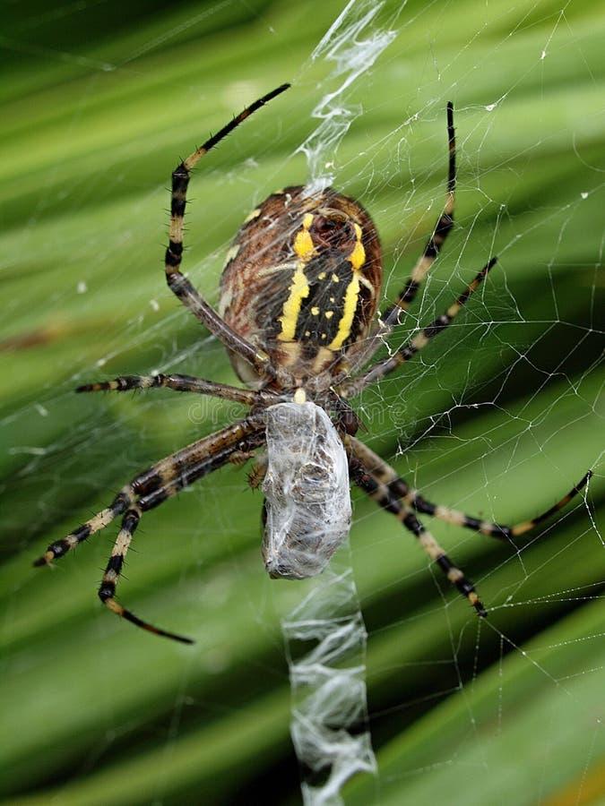 Closeupen av en gul randig getingspindel i dess spindel förtjänar arkivfoto